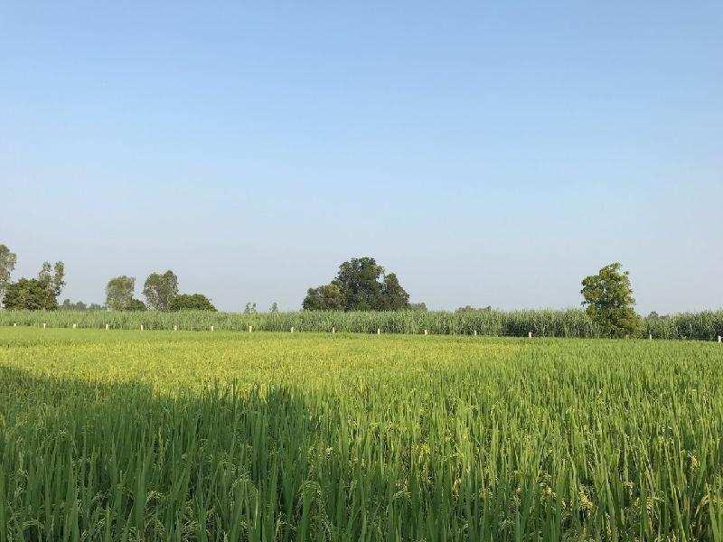 Agricultural/Farm Land for Sale in Lakhimpur Kheri - 50 Acre