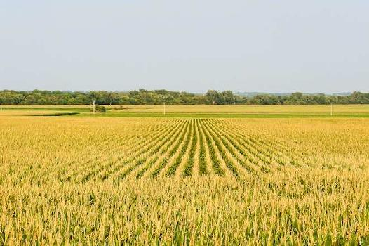 20 Acre Farm Land for Sale in Radaur, Yamunanagar