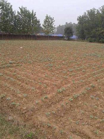 60 Marla Farm Land for Sale in Sadaura, Yamunanagar