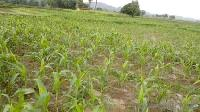 950 Acre Farm Land for Sale in Ichhawar, Sehore